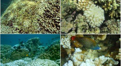 Fehéredő korallok