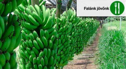 Élelmes tények: újabb banánvész fenyeget
