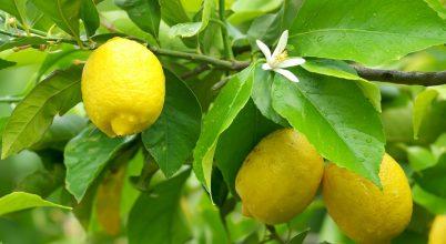 A citrom ereje