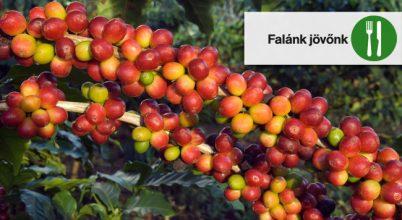 Élelmes tények: Új kávéfajta kerestetik!