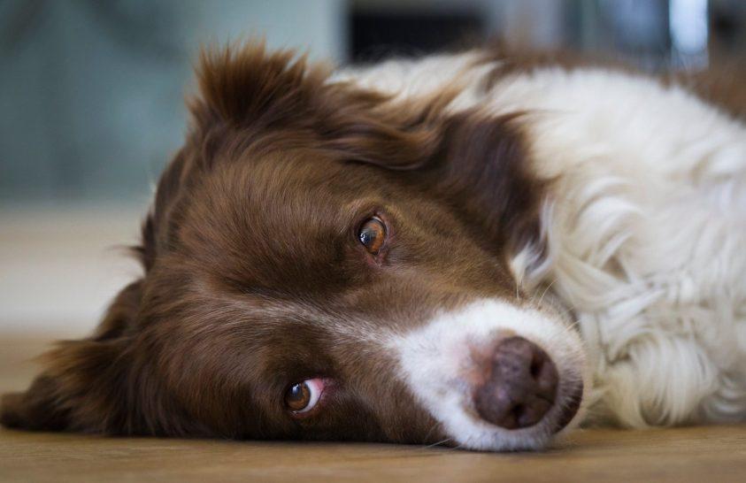 Rejtélyes kutyabetegség pusztít Angliában