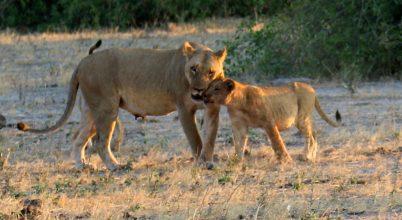 Egy nemzeti park oroszlánjai között