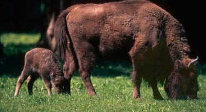 Már 28 bölény él a Déli-Kárpátokban