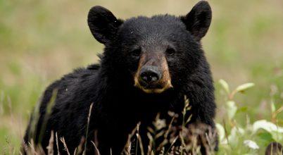 Hosszú idő után, ismét egy fekete medve Indianában