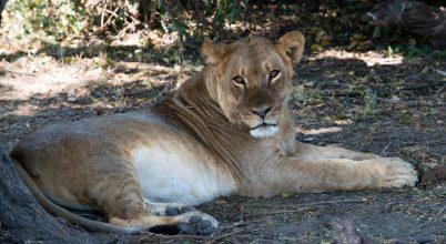 Újra lesznek oroszlánok Ruandában
