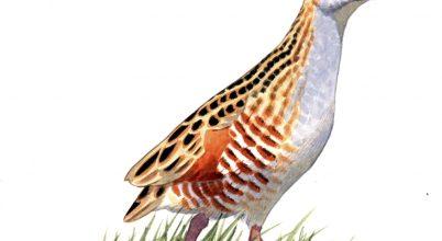 A haris lesz az év madara 2016-ban