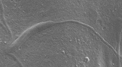 50 millió éves spermium az Antarktiszról