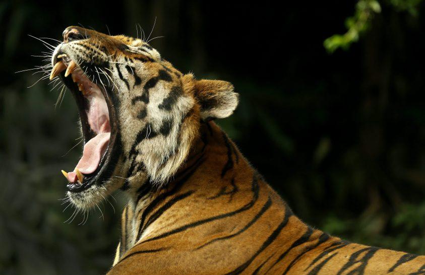 Tigrisek Világnapja
