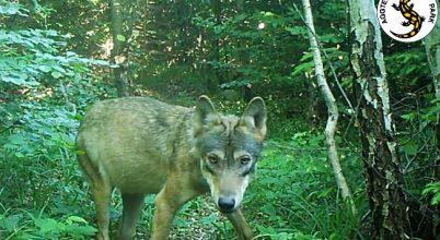Fiatal farkas a kameracsapdában