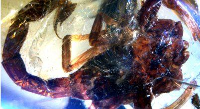 Új skorpiófaj borostyánkőben