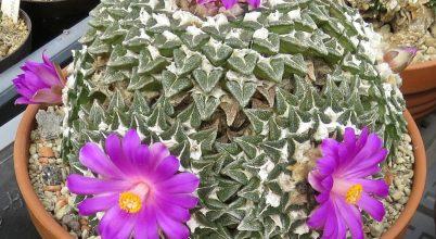 Élő kaktuszkövek