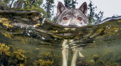 Tengerhódító farkas