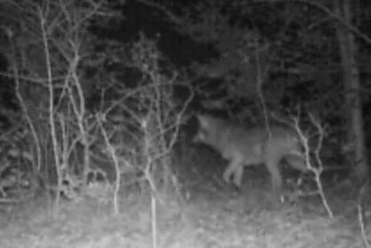 Rejtőzködő farkasok