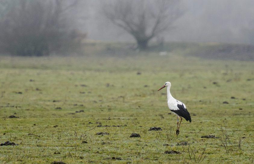 Telelő fehér gólyák itthon és Afrikában