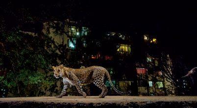 Leopárd a szomszédunk