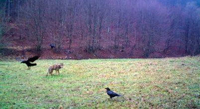 Vadász és farkas találkozása