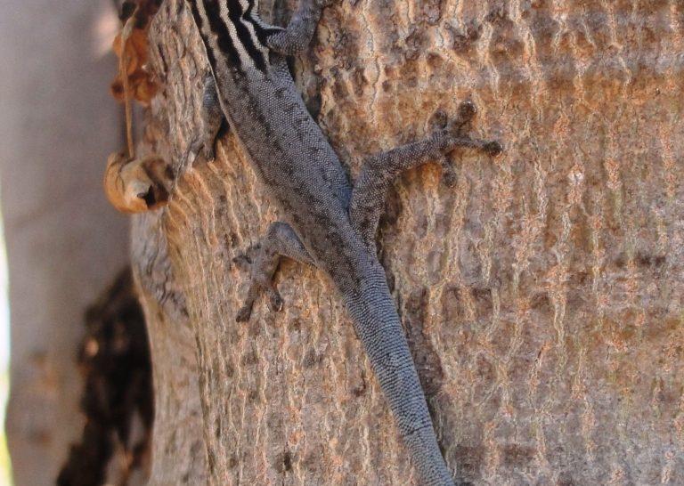 Új gekkó az állatfajok listáján