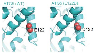 A sejtek szemételtakarító útvonaláról