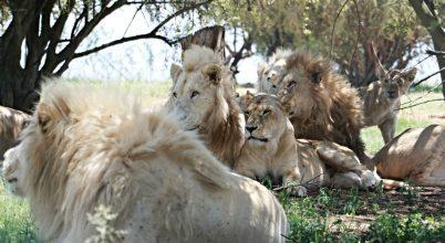 Az oroszlánsuttogó és a nagymacska park