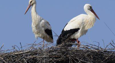 Gólyaköszöntő és madárgyűrűzés