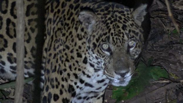 Szemtől szemben a jaguárral
