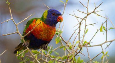 Érdekességek Ausztrália madárvilágából