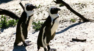 Az afrikai pingvinek birodalmában