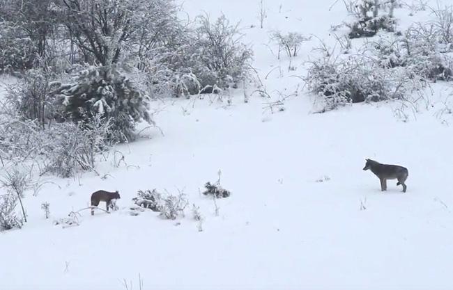 A farkas találkozott a hiúzzal