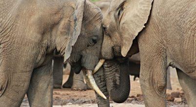 Meglestem a fürdőző elefántokat