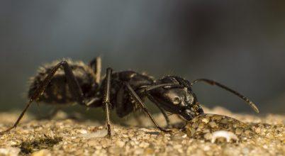 A fekete hangya is szereti a mézet