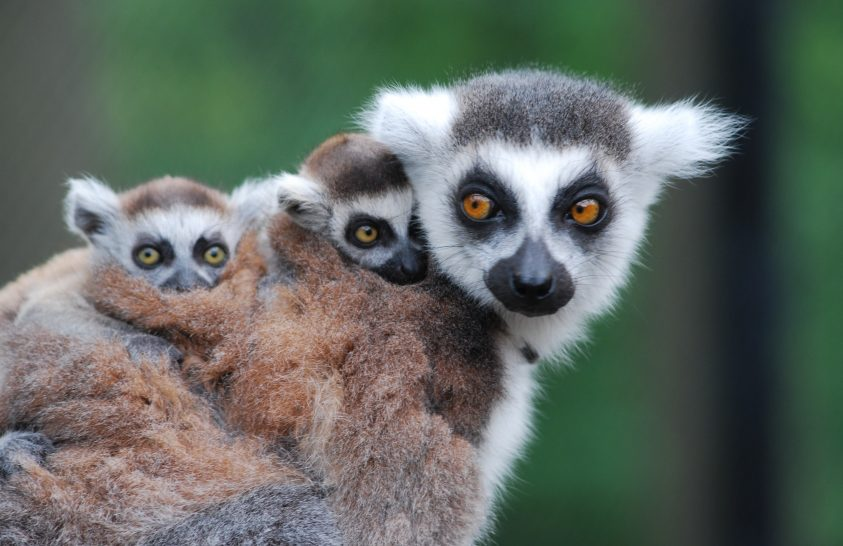 Lemur család