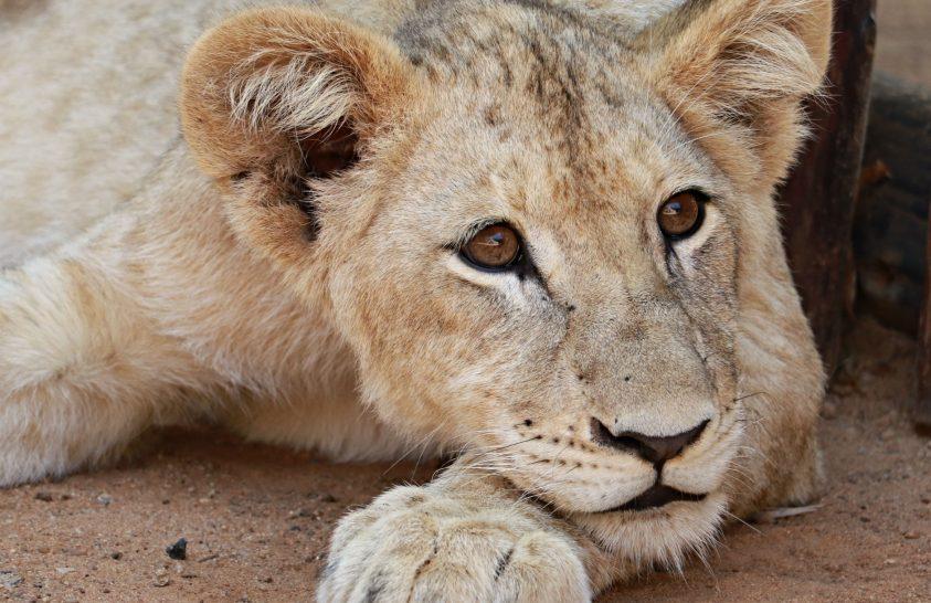 Vadászatra tenyésztve: Dél-Afrika oroszlánipara
