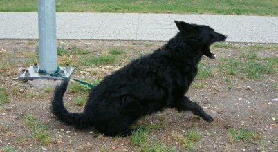 A kutyaugatás mint zajártalom