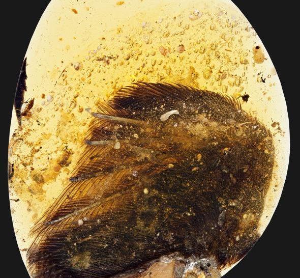Angyalszárnyra emlékeztető zárvány egy borostyánkőben