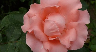 A szivárvány színeiben pompáznak a szegedi rózsák