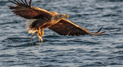 A nap képe: Egy halászó sas