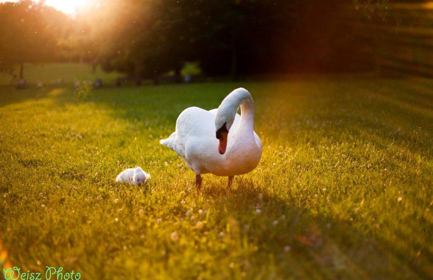 A nap képe: Hattyú mama vigyázó szeme