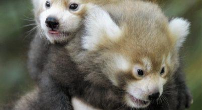 Kis pandák születtek a Sóstó ZOO-ban