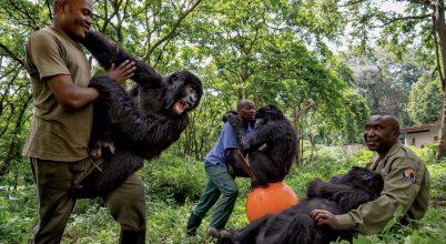 A tét: Virunga