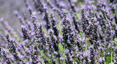 Provence kék aranya