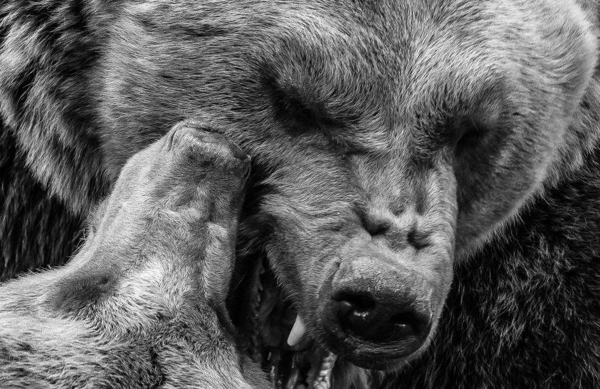 A nap képe: Játszó medvék