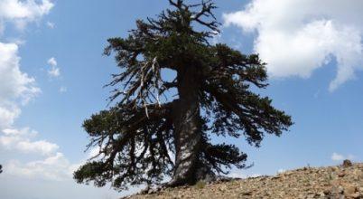 Európa legöregebb fája Görögországban él
