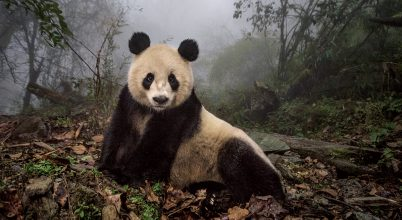 Visszavadított pandák
