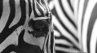 A nap képe: Zebra a fókuszban