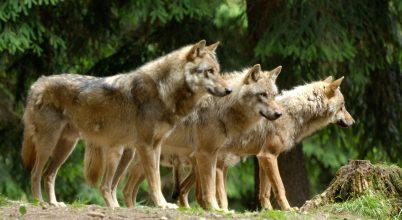 A farkasok éjszakai találkozója egy vaddisznóval