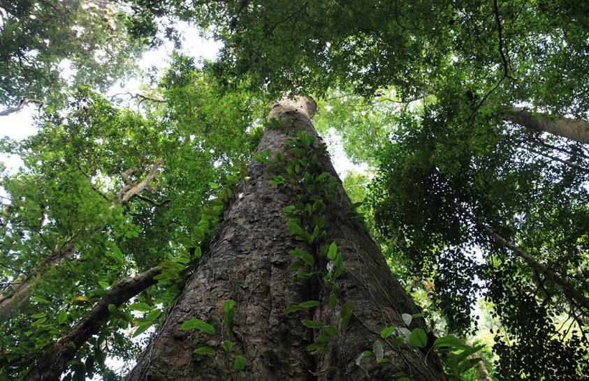 A Kilimandzsárón él Afrika legmagasabb fája