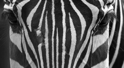 A nap képe: Szemben a zebrával