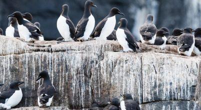 A guanó hűtheti az Északi-sarkvidék térségét
