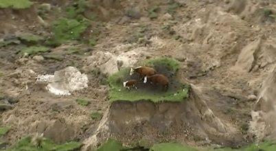 Megmenekültek a tehenek