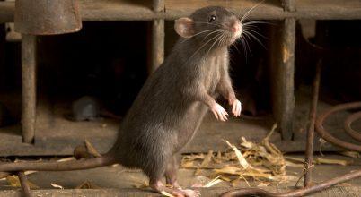 Így hódították meg a patkányok a világot